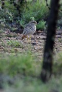 Spotted Thick-knee (Burhinus capensis) by Matthew Simpson