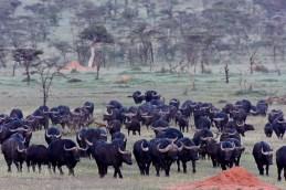African buffalo (Syncerus caffer) by Matthew Simpson
