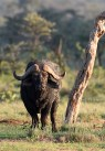 African buffalo (Syncerus caffer) by Matthew Simpson