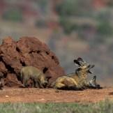 Bat eared fox () at Lolldaiga Hills Ranch. Photograph by Paul Benson.