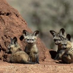 Bat-eared fox (Otocyon megalotis) pups at Lolldaiga Hills Ranch. Photograph by Paul Benson.