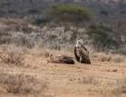 Ruppel's Griffon Vulture (Gyps rueppellii)
