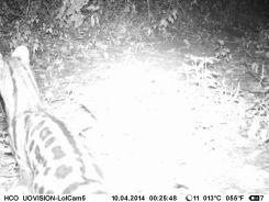 Large-spotted Genet (Genetta maculata)