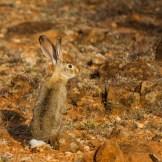 African savanna hare (Lepus victoriae)