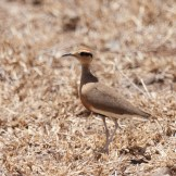 Temminck's courser (Cursorius temminckii)