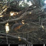 Unstriped ground squirrel (Xerus rutilus)