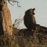 Olive baboon (Papio anubis)