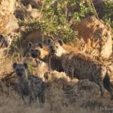 Spotted hyaena (Crocuta crocuta)