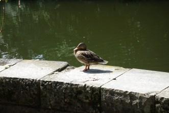 Ducks II