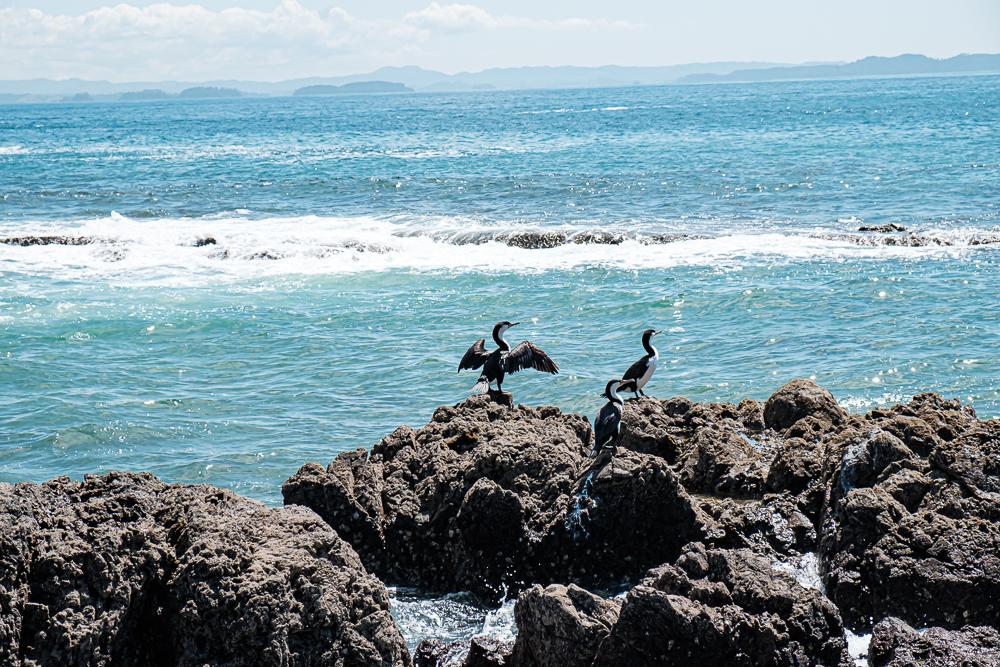 Ile Tiritiri Matangi - ile aux oiseaux