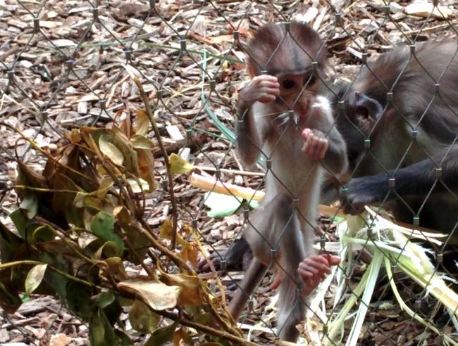Monkey Business at London Zoo