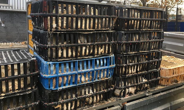 Chickens being transported in crates to the slaughterhouse today