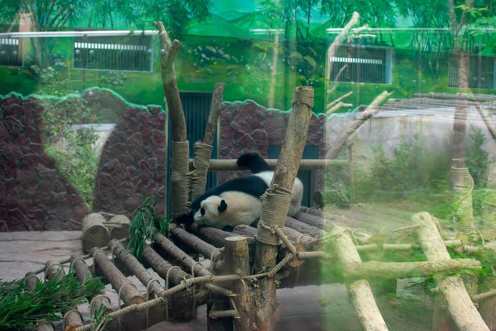Qianling Park in Guiyang China - Giant Pandas in zoo