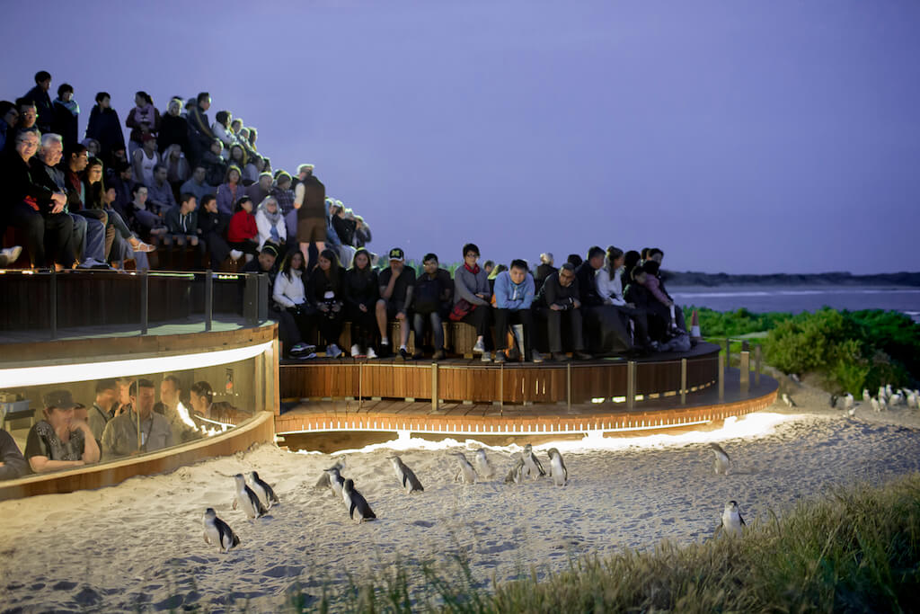 The Penguin Parade on Phillip Island