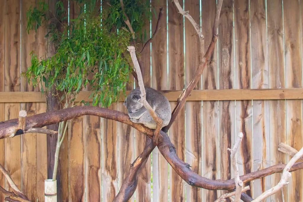 Phillip Island Koalas