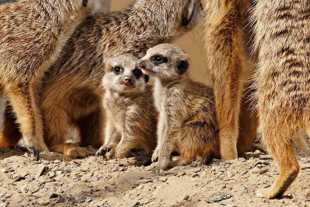 Baby meerkats, virtual zoos for at home date ideas