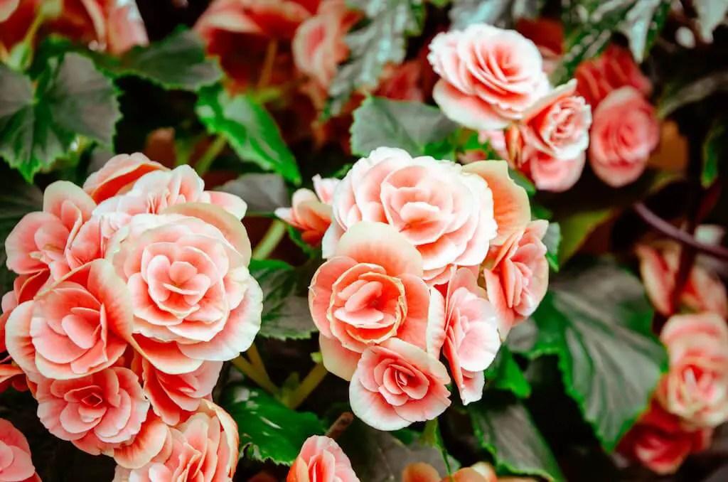 Roses in Regents Park London