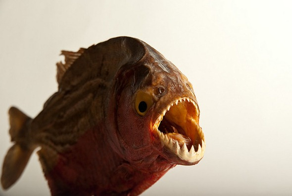 Who's afraid of the stuffed Piranha?