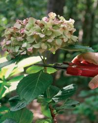 041115_pruning_hydrangeas_xlg