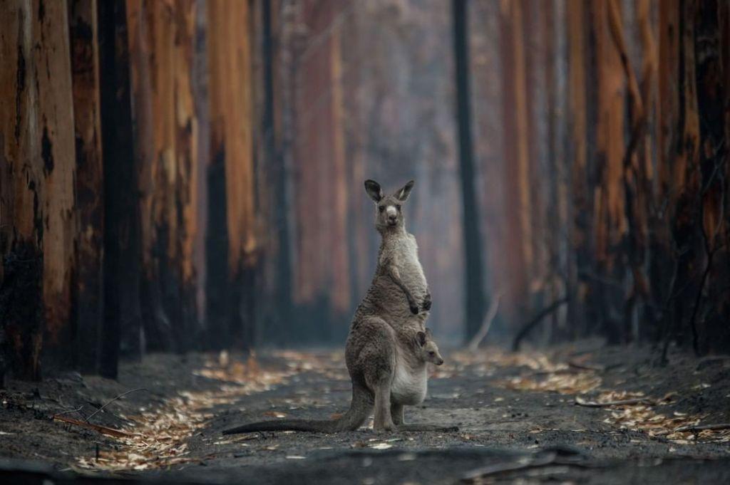 kangaroo joey australia bushfires