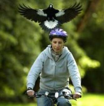 Magpie attacks