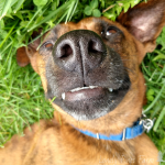 "Everyone's heard of catnip, but did you know that dogs go just as crazy for anise? Its pungent smell has been used for centuries with foxhounds and greyhound racing. I can guarantee that these ""dognip"" anise dog treats will be a huge hit!"
