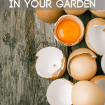 Are you throwing away your eggshells? Then you're missing out on a valuable addition to your garden. Eggshells are high in calcium and a natural slug deterrent.