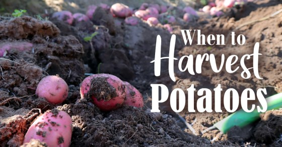 How to Harvest, Cure, and Store Potatoes