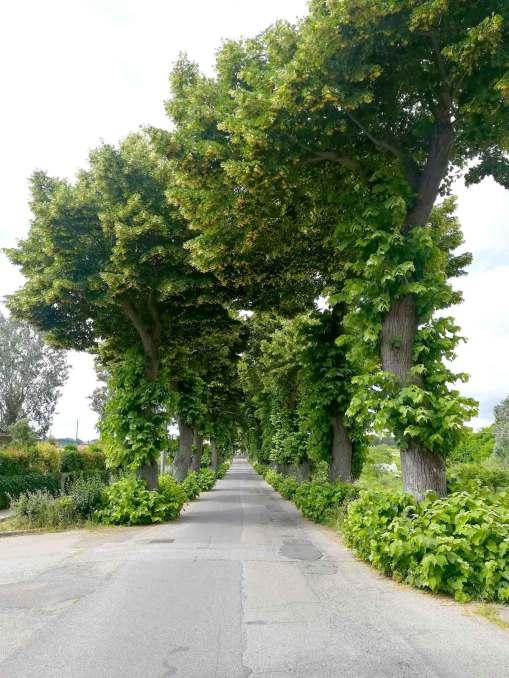 La strada che porta a Lari, immersa nel verde dalla campagna toscana, con i suoi filari