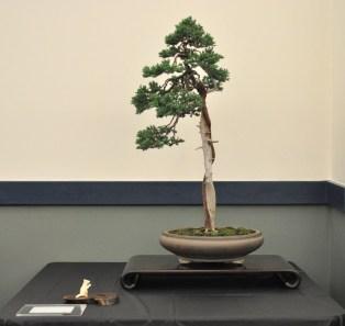 Best in Show-Procumbens Juniper-Mark Bynum, Ft. Worth Bonsai Society