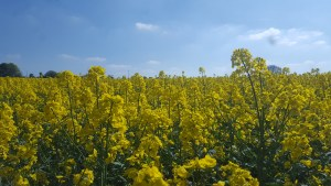 A field of yellow oilseed rape against a blue sky.
