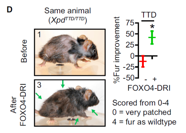FOXO4 senolytic mouse longevity
