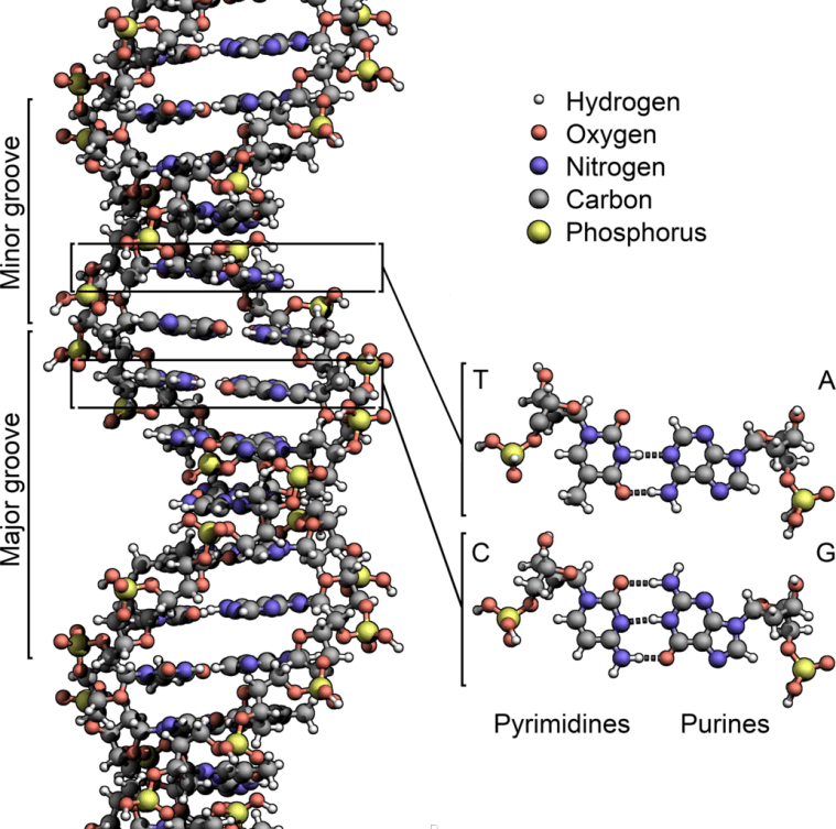 DNA chemical shape