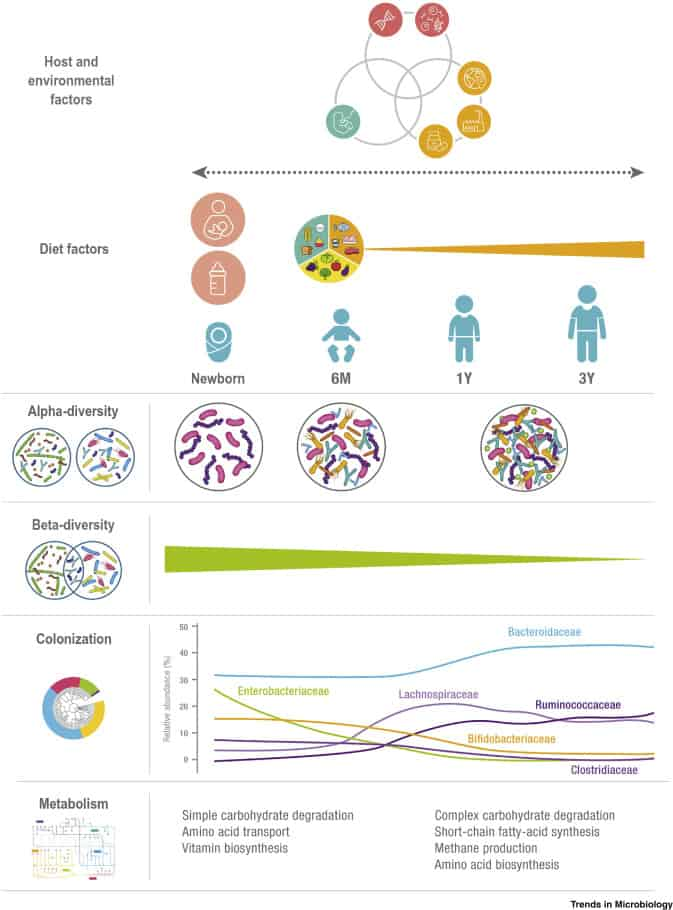 How the gut develops in the first three years of life for the gut microbiome  for longevity