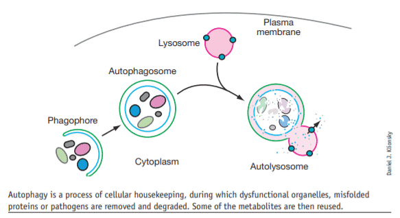 Intermittent fasting and life extension may have to do with cell autophagy
