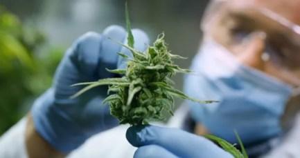 cannabis | Longevity LIVE