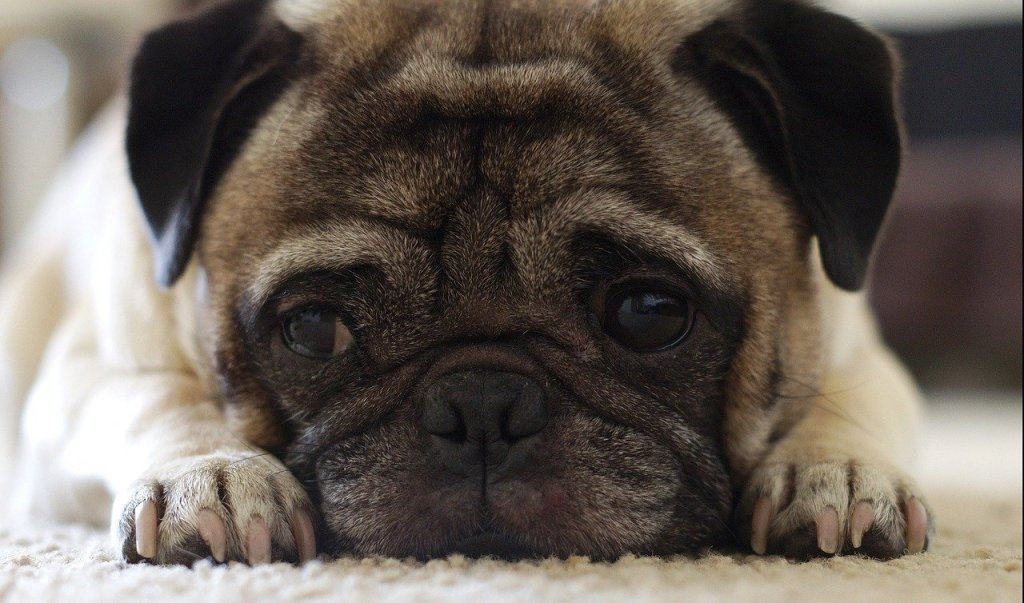 Separation Anxiety – Understanding Separation Anxiety Disorders In Dogs