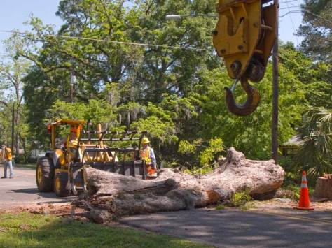 Pecan tree down