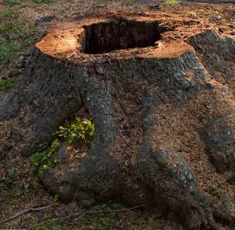Pecan tree trunk