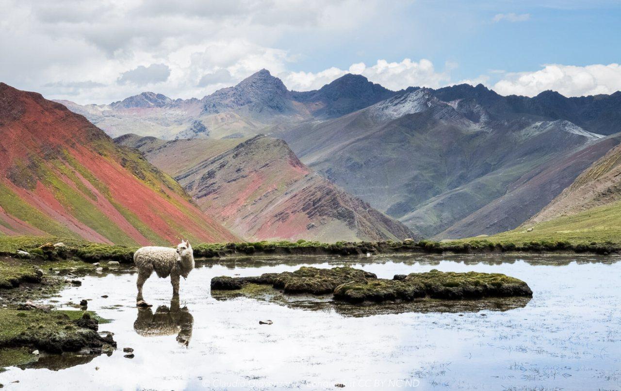 Lama su un lago della cordillera