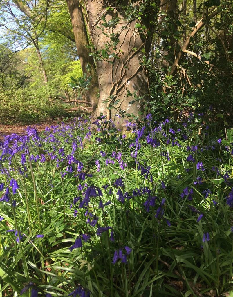 Tehidy Wood in Bluebell season