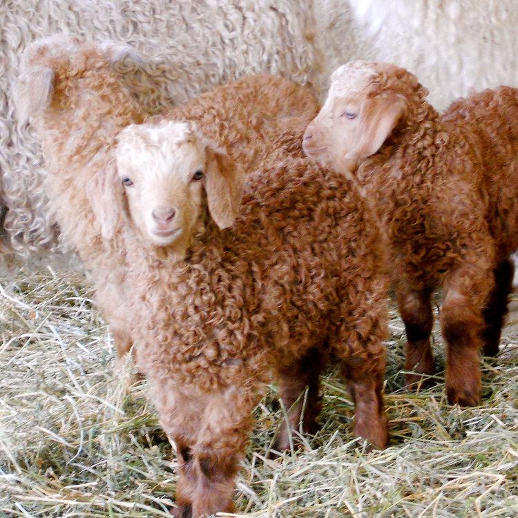 Angora Goats on the Twirl Ranch Loop London