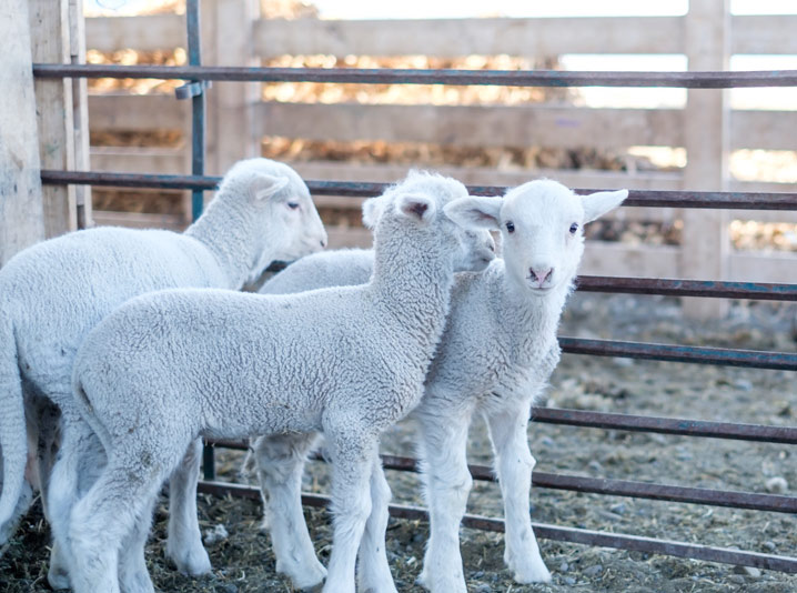 BT Ranch Bare Lambs