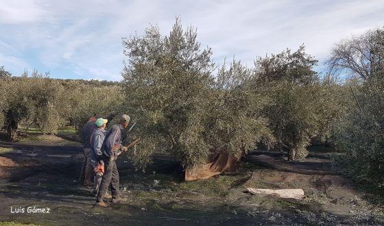 Vídeo promocional de la Diputación de Jaén sobre el mundo del olivo