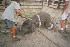 elefante-maltrato-animal-circos-lqsomos