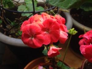 geranium 1