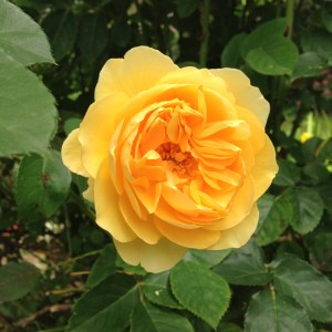 sch yellow rose