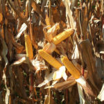 selling-farmland-corn-harvest-central-indiana-auction-sale