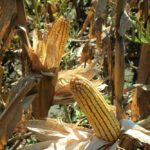 west-central-illinois-farm-for-sale-cornstalks