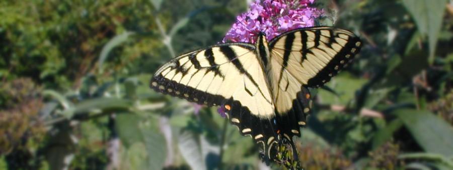 Pollen Vector, Monark Butterfly